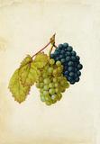 Black Grapes & White Grapes, by Jacques Le Moyne de Morgues