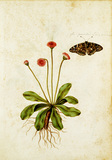 Daisy & Painted Lady Butterfly, by Jacques Le Moyne de Morgues