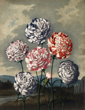 Carnations, by Robert John Thornton