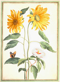 Sunflowers and Mallow, by Johan Jakob Walther