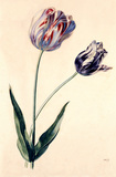 Study of tulips, by Mary Moser
