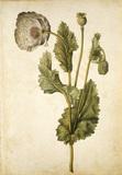 Opium Poppy, by Jacques Le Moyne de Morgues