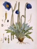 Meconopsis Simplicifolia, by Joseph Dalton Hooker