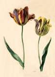 Tulip, by Mary Moser