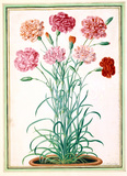 Carnations, by Johan Jakob Walther