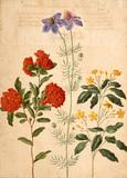 Gardenia, from Horti Itzeinensis, by Johann Jakob Walther