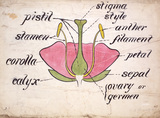 Cross-section through a rose, by Christopher Dresser