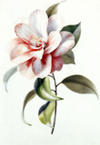 Camellia, by Anne Marie