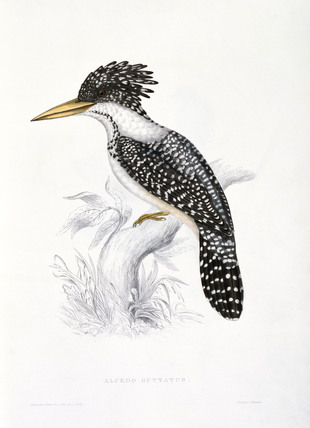 Kingfisher, by Elizabeth Gould
