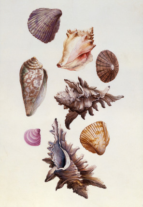 Seashells, by Claude Aubriet