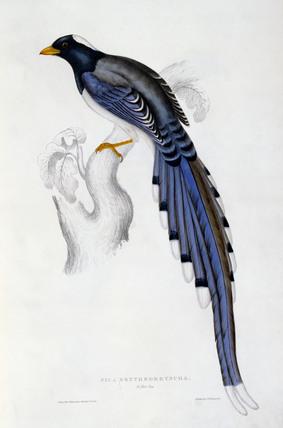 Pica Erythrorhyncha, by Elizabeth Gould