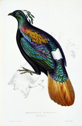 Lophophorus Impeyanus,  by Elizabeth Gould