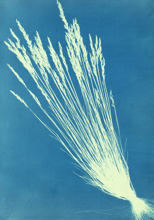 Fescue Grasses, by Anna Atkins