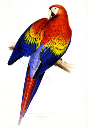 Red & Yellow Macaw