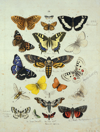 Varieties of butterflies and moths