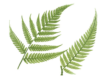 Phytography of Ferns