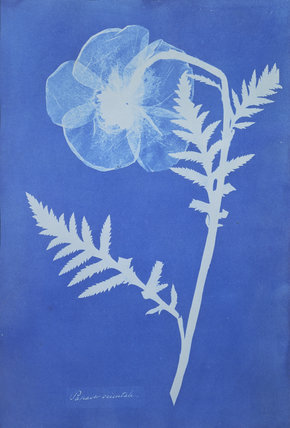 Poppy, by Anna Atkins