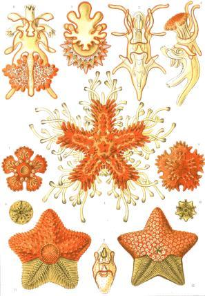 Starfish, Kunstform der Natur