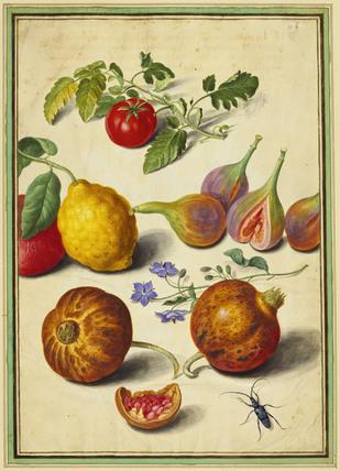 Tomato and Lemon, by Johann Jakob Walther