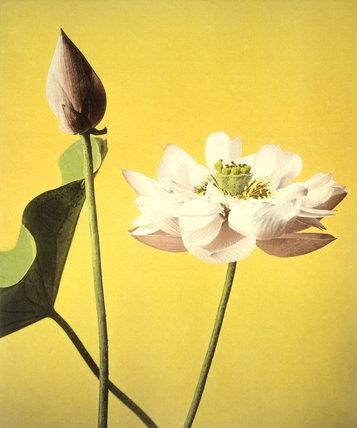 Lotus, by Ogawa Kazuma