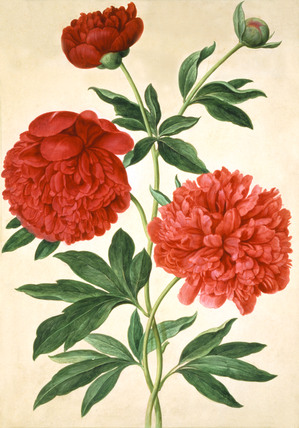 Peonies, by Johan Jakob Walther