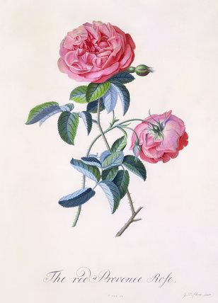 Red Provence Rose, by George Dionysus Ehret