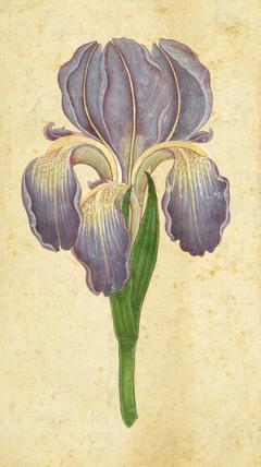 An iris flower.