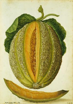 Watermelon, by Jacques Le Moyne de Morgues