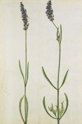 Lavender, by Jacques Le Moyne de Morgues