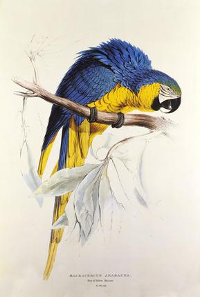 Parrot by Edward Lear