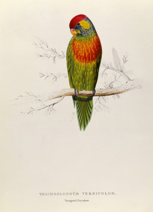 Variegated Parakeet: Trichoglossus Versicolor, by Edward Lear