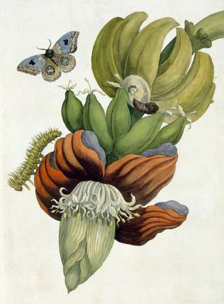 Banana Flower, by M S Meriam