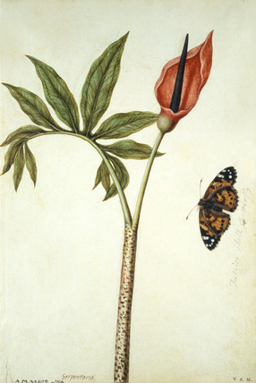 Dragon Lily and Butterfly, by Jacques Le Moyne de Morgues