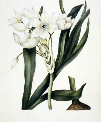 White flowers, by Samuel Holden
