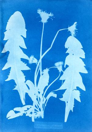 Dandelion, by Anna Atkins