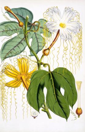 Hodgsonia Hetesodita, by J.F.Cathcart