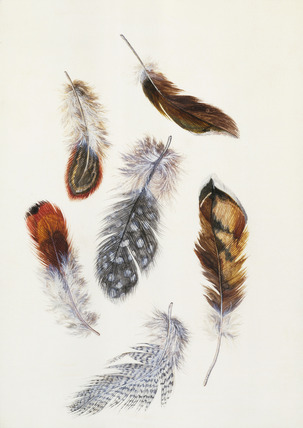Feathers, by Claude Aubriet