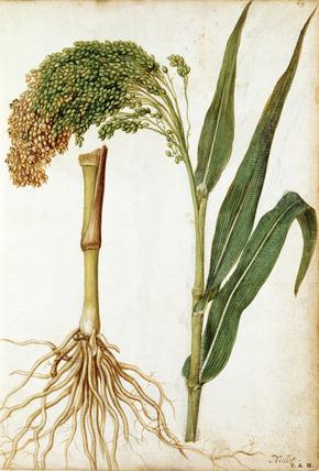 Millet, by Jacques Le Moyne de Morgues
