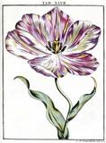 Tulip, 1776.