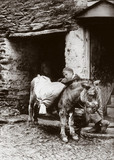 'Boy and donkey', c 1890s.