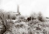 Herding cattle, c 1890-1900.