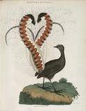 Lyrebird, Australia, c 1798.
