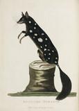 'Spotted Oposum', Australia, c 1788.
