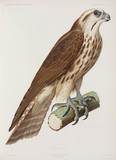 Saker Falcon, Algeria, 1840-1842.