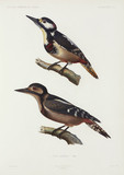 Woodpeckers, Algeria, 1840-1842.