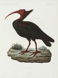 Bald ibis, Algeria, 1840-1842.