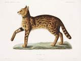 Serval, Algeria, 1840-1842.