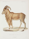 Mouflon, Algeria, 1840-1842.