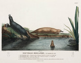 Duck-billed platypuses, New South Wales, Australia, 1801-1803.