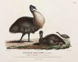 Cassowaries, Kangaroo Island, Australia, 1801-1803.